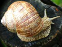 helix-pomatia-pu